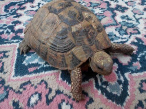 Черепаха на ковре в Черногории