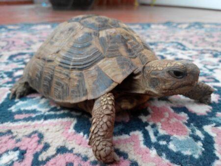 Черепаха на вилле в Черногории