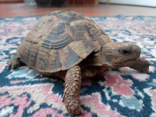 Черепаха на віллі в Чорногорії