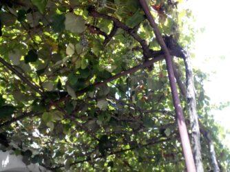 Чорногорські фрукти