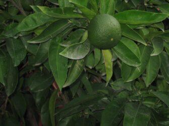 Апельсиновое дерево в Черногории