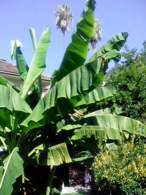 Банановая пальма в Герцег-Нови