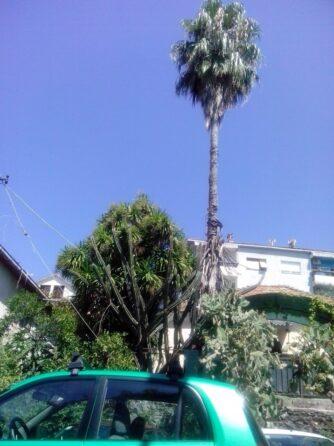 Пальма в Герцег-Нови