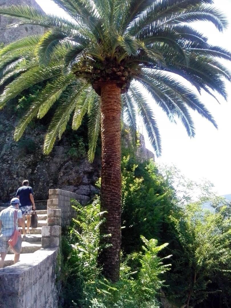 Пальмы в Герцег-Нови