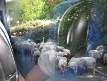 Овцы у водопоя в Дурмиторе