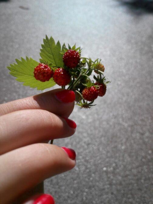 Земляника и ягоды в Дурмиторе