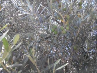 Оливки в Будве