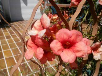 Такі квіти дуже популярні в Будві