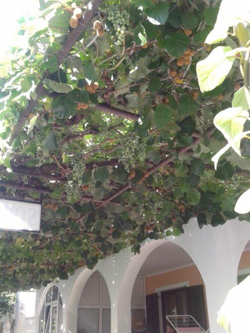Виноград і ківі прямо біля входу на віллу